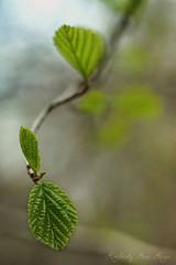 All alone (kimberly ann kern) Tags: spring green leafs new life poconos pennsylvania bokeh backround 50mm
