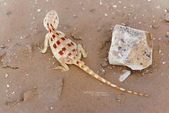 Trapelus savignii (Matthieu Berroneau) Tags: trip macro nature animal israel reptile wildlife sony lizard fe alpha ff hardon herp lézard israël reptilia reptilian 24x36 trapelus herping holot trapelussavignii 7iii savignii sonya7iii sonyilce7m3 a7iii sonyalpha7iii sonya7mk3 sonyalpha7mark3 7mk3 hardonholot female sand egyptian agama femelle egyptiansandagama savignyi trapelussavignyi
