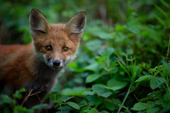 curious in the undergrowth (robert.lindholm87) Tags: canon 1d 1dmarkiv fox leaf green pup foxpup nature animal sweden summer dof bokeh curious portrait 200mm eyeofsauron
