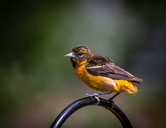 Missing Feathers (hey its k) Tags: 2019 backyard baltimoreoriole birds canon5dmarkiv female nature oriole hamilton ontario canada imga4311 tamron 150600mm