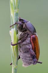 Anisoplia sp. (Cristian Arghius) Tags: sonya7 canonmpe65mm metabonescanoneftoemountsmartadaptermarkiv rrstp243tripod arcaswisscubetripodhead zerenestacker macro naturallight focusstack insect beetle anisoplia