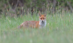 Red Fox (KHR Images) Tags: red fox redfox vulpesvulpes wild mammal cambridgeshire fens wildlife nature nikon d500 kevinrobson khrimages