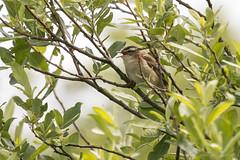Sedge Warbler-4551 (WendyCoops224) Tags: 100400mml 80d norfolk rspbtitchwell canon eos ©wendycooper sedge warbler
