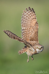 _8HB4180 (Hilary Bralove) Tags: birdsofprey burrowingowls burrowingowl owl owls nature coloradobirds colorado coloradowildlife nikon bird birds birdsinflight owlsinflight