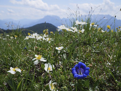 Almwiese (memories-in-motion) Tags: wilderkaiser österreichbergwiese almwiese natur enzian green blue white sky clouds outlook alpen alps hiking panasonic dmcgx8 mft mountain