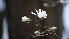 Opening (Violet aka vbd) Tags: pentax k1ii k1markii hdpentaxda55300mmf4563edplmwrre ct connecticut newengland vbd flower white magnolia handheld 2019 spring2019 bud manualexposure bokeh