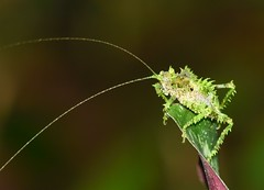Spiny katydid (anacm.silva) Tags: spinykatydid katydid cricket insect insecto wild wildlife nature natureza naturaleza selvaverde sarapiqui costarica grilo gafanhoto