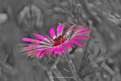 171/365 - Pink explosion... (Sinuhé Bravo Photography) Tags: canon eos7dmarkii selectivecolor flower pink vivid nature bw