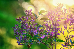Lilac (anderswetterstam) Tags: flowers plants nature floral closeup botanical petals bush purple lilac blooming shrubb