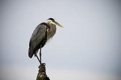 Blue Heron (Deepmike70) Tags: wildlife animal bird heron blue sky nature feather