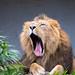 yawning asiatic lion
