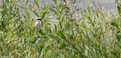 Pie grièche écorcheur (fr) - Lanius collurio (Linnaeus, 1758) - Neuntöter (de) - Red-backed shrike (en) (patrick68110) Tags: oiseau passereau insectivore plume