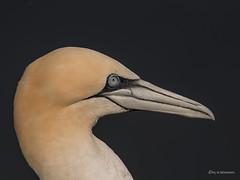 Basstöpel Portrait (wernerlohmanns) Tags: basstölpel wasservögel wildlife natur outdoor helgoland deutschland schärfentiefe sigma70200f28sport nikond750 d750