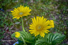 Daisy's in the Sun (Photographybyjw) Tags: daisys sun they were slow start after transplanting but now growing strong pretty north carolina ©photographybyjw