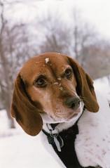 Portrait of Amandine (Dekhana Photo) Tags: amandine beagle dog chien inu montreal quebec canada portrait parc park lafontaine plateaumontroyal plateau dekhana photo andregenel minolta minoltax700 fuji superia400 analog analogue film pellicule argentique