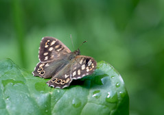 Speckled Wood Butterfly (Gareth Keevil) Tags: anglesey butterfly detail garethkeevil june nationaltrust nikon nikon300mmpf nikond500 plasnewydd speckledwood stacked summer sunshineafterrain uk upclose wales wild