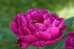 Artstetten (liakada-web) Tags: artstetten at austria aut österreich niederösterreich blume flower nikon nikond7500 d7500