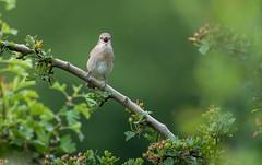 Garden warbler (David Brooker) Tags: sylvia borin garden warbler bird