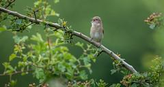 Garden warbler (David Brooker) Tags: garden warbler bird singing sylvia borin