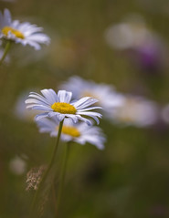 A moment of joy (Jan.Timmons) Tags: pacificnorthwest wilddaisies nature natureconservancy outside outdoors cloudyday afteraspotofrain wild free jantimmons2019 selectivefocus shallowdof nikkor200mmmacroprimelens