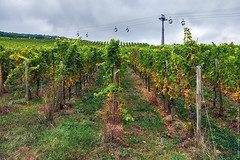 Wine field around Rudesheim am Rhein with tourists cableway on a background town in Germany (Midoritai) Tags: vineyard wine field rudesheimamrhein tourists cableway background town germany ropeway transport hill winemaking vinemaking greengrapes germanwine whitewine autumn agriculture harvesting travel cabin cable green way rope yellow hesse hessen state journey tourism exploration countryside destination farm lush landscape naturallandmark nobody row vine vinegrowing vinery winegrapes winery transportation tour winetour