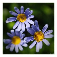 Complementary colours / Komplementärfarben (Steffen Schobel) Tags: flowers blumen natur nature makro macro flora colours farben unschärfe blurriness abigfave