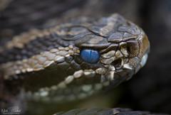 Eastern Massasauga Rattlesnake (Nick Scobel) Tags: eastern massasauga rattlesnake sistrurus catenatus rattler michigan venomous snake scales texture pattern hidden coiled