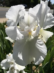 178/365/8 (f l a m i n g o) Tags: summer spring flower iris white 365days project365 thursday 2019 20th june