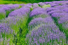 Lavender forever :) (Ibolya Mester) Tags: