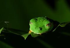 Red-eyed tree frog... sleeping (anacm.silva) Tags: redeyedtreefrog frog rã wild wildlife anfíbio nature natureza naturaleza selvaverde sarapiqui costarica amphibian