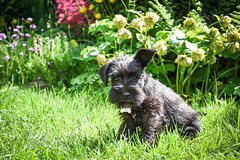 I'm half listening (littlestschnauzer) Tags: milo black puppy pup dog mini miniature schnauzer 2019 june garden home pets animal pet cute ears