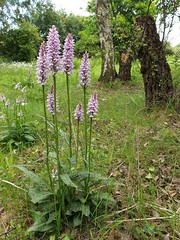 Common Spotted Orchid - Dactylorhiza fuchsii (Darren...) Tags: nottinghamshire wildlife trust meadow kings common spotted orchid dactylorhiza fuchsii nottingham june 2019 flowers