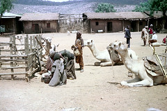 78-624 (ndpa / s. lundeen, archivist) Tags: nick dewolf color photograph photographbynickdewolf 1976 1970s film 35mm 78 reel78 africa northernafrica northeastafrica african ethiopia southernethiopia ethiopian people localpeople market streetmarket village unidentified unidentifiedvillage animal animals camel camels kneel kneeling resting landscape terrain hills trees buildings houses homes fence sticks branches wood thatchroof thatchedroof men women localmen localwomen saddle saddles