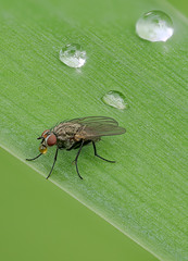 01_fliege-gutation_154B+Raynox-250 (bernardo7777) Tags: fliege jörg bernhard klemmer panasonic g9 zuiko olympus 60mm raynox stacking breckting makro microfotografie insekten wildlife