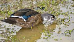 Wood Duck (jt893x) Tags: 150600mm aixsponsa bird d500 duck jt893x nikon nikond500 sigma sigma150600mmf563dgoshsms waterfowl thesunshinegroup coth alittlebeauty coth5 male