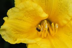 Daylily Visitor (Modkuse) Tags: daylily bug flower provia fujiprovia xt2proviasimulation fujifilmxt2provia fujifilmxt2proviasimulation nopostprocessing art artphotography photoart fineartphotography fineart creature insect macro macrophotography macrolens macroinsects 80mm 80mmmacro xf80mmf28rlmoiswrmacrolens fujinonxf80mmf28rlmoiswrmacro fujifilm fujifilmxt2 xt2 fujinon
