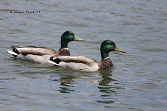 Mallard Duck (Anas Platyrhynchos) (Gerald (Wayne) Prout) Tags: mallardduck anasplatyrhynchos animalia chordata aves anseriformes anatidae anas platyrhynchos bird birds mallard duck ducks dabblingducks waterfowl waterbirds wildlife animals nature gillieslakeconservationarea gillieslake cityoftimmins northeasternontario canada prout geraldwayneprout canon canoneos60d eos 60d digital dslr camera canonlensef70300mmf456isusm lens ef70300mmf456isusm photographed photography gillies lake conservation area city timmins northeastern ontario northernontario water
