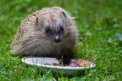 Hedgehog - Finland (Sami Niemeläinen (instagram: santtujns)) Tags: joensuu suomi finland siili hedgehog hedgehodge luonto nature eläin animal wildlife
