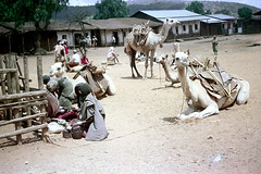 78-626 (ndpa / s. lundeen, archivist) Tags: nick dewolf color photograph photographbynickdewolf 1976 1970s film 35mm 78 reel78 africa northernafrica northeastafrica african ethiopia southernethiopia ethiopian people localpeople market streetmarket village unidentified unidentifiedvillage animal animals camel camels kneel kneeling resting landscape terrain hills trees buildings houses homes fence sticks branches wood thatchroof thatchedroof men women localmen localwomen saddle saddles sheetmetalroof