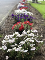 Flowers of Connecticut, USA (James Mans) Tags: flowers usa apple mobile connecticut flowerbed farmington portraitmode iphone8plus red white purple america