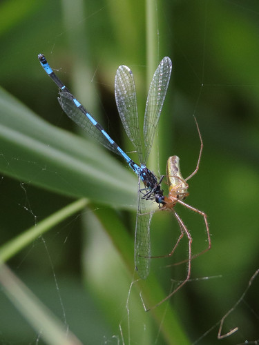 The Spider and the Damselfly