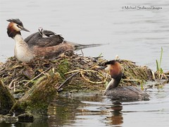 J6190129F (mikehs) Tags: great crested grebes
