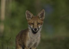 Fox. Bristol 20/6/19 (andyvivahate) Tags: fox redfox bristol