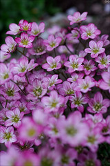 PInk (gwennan) Tags: pink flowers cute green nature closeup color colors russia macro spring walks moscow