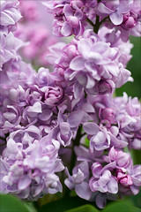 Double syringa (gwennan) Tags: flowers color macro nature colors strange closeup lilac syringa macroenfolie cute green walks russia moscow spring