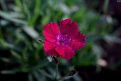 Dianthus (gwennan) Tags: dianthus flowers color macro cute green nature colors closeup walks russia moscow spring pink