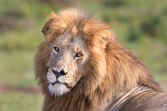 Lenkume (Xenedis) Tags: africa afrika angamapride animal bigcat bigfive cat eastafrica gamedrive kenya lenkume lion maasaimara maranorthconservancy narokcounty pantheraleo republicofkenya riftvalley safari simba wildlife fh ig