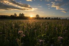 Purple flower sunset (Sebo23) Tags: sunrise sonnenuntergang sonnenstrahlen sunbeams sunstar sonnenstern gegenlicht abendstimmung flower nature naturaufnahme natur landschaft landscape licht light lichtstimmung canoneosr canon16354l
