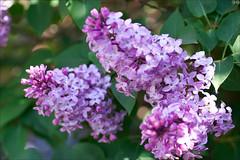 Branch of syringa (gwennan) Tags: strange lilac syringa flowers nature colors color macro closeup macroenfolie cute green walks russia moscow spring