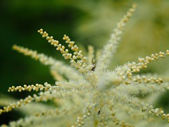 Garden Macro Bokeh | 16. Juni 2019 | Schleswig-Holstein - Deutschland (torstenbehrens) Tags: olympus penf m45mm f18 garden macro bokeh | 16 juni 2019 schleswigholstein deutschland